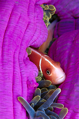Pink Anemone fish in host Magnificent Sea Anemone - p8845394 by Birgitte Wilms