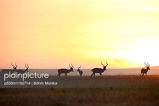 Impalas vor Sonnenaufgang - p533m1152714 von Böhm Monika
