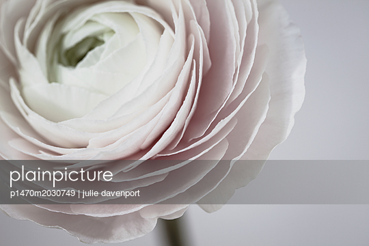 close up of RANUNCULUS CLOONEY HANOI with grey background - p1470m2030749 by julie davenport