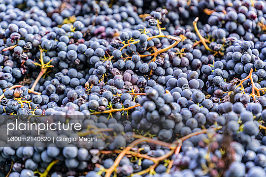 Harvested red grapes - p300m2140620 by Giorgio Magini