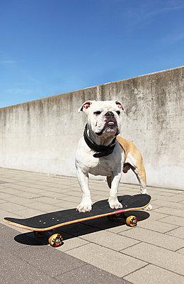 Dog with Skateboard - p045m740237 by Jasmin Sander