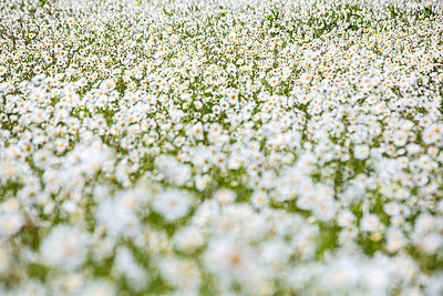 Field with daisies - p1057m1444631 by Stephen Shepherd