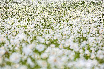 Feld mit Gänseblümchen - p1057m1444631 von Stephen Shepherd