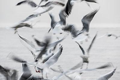 Möwen über zugefrorener Havel - p739m1216930 von Baertels