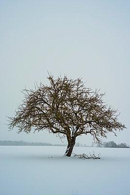 Germany, Baden-Wuerttemberg, apple tree in winter - p300m998017f by Walter G. Allgöwer