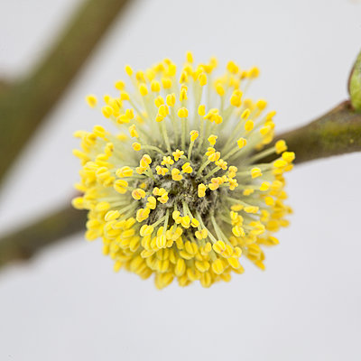 Close up of willow flower - p1470m1541286 by julie davenport