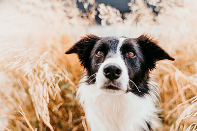 Close-up of border collie dog among leaves - p300m2225612 by Eva Blanco