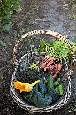 Sweden, Uppland, Solna, Ulriksdal, Freshly picked vegetables in wicker basket - p352m1061485f by Lars-Peter Roos