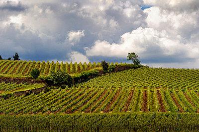 Vine yard - p1088m907876 by Martin Benner