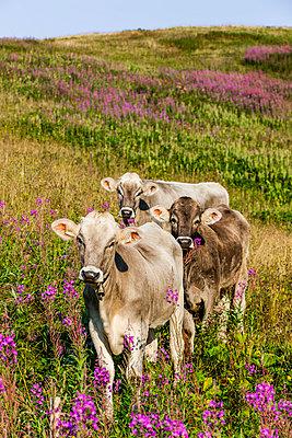 Kühe auf der Alm - p248m1058247 von BY