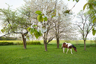 Brown and white horse grazing in idyllic, spring field - p301m2017814 by Julia Christe