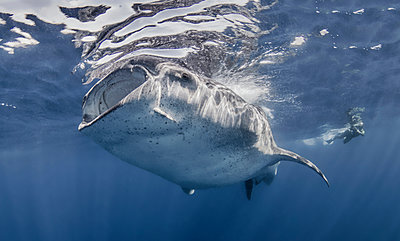 Whale Shark with photographer - p429m1135147f by Ken Kiefer 2