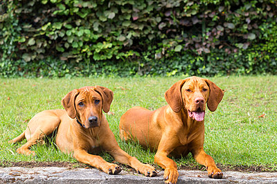 Hunde auf dem Rasen - p739m1034147 von Baertels