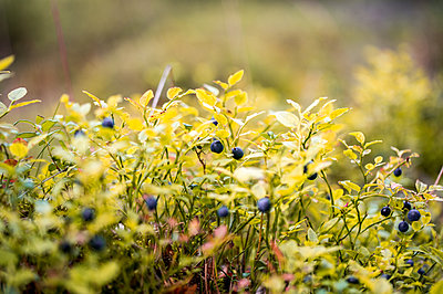 Sunlight Over The Blueberries On Plant, Sweden  - p847m1529373 by Magnus Lejhall