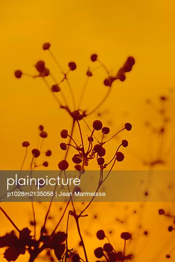 Dried anemones - p1028m2135058 by Jean Marmeisse