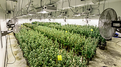 A Large Marajuana Grow Operation In Washington State - p343m1218264 by Alasdair Turner