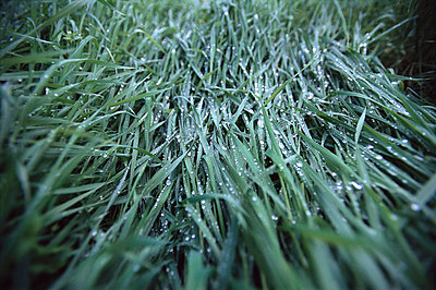 Wet Grass - p6940700 by Eydis Einarsdottir photography