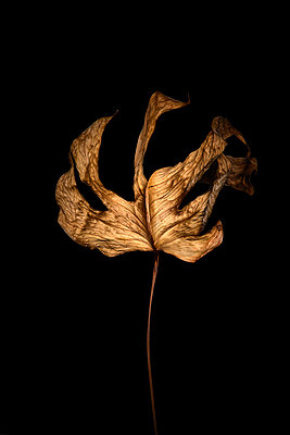 Withered leaf, close-up - p851m2289573 by Lohfink
