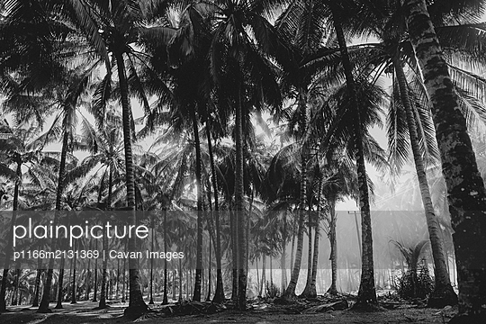 Palm tree field in Indonesia - p1166m2131369 by Cavan Images