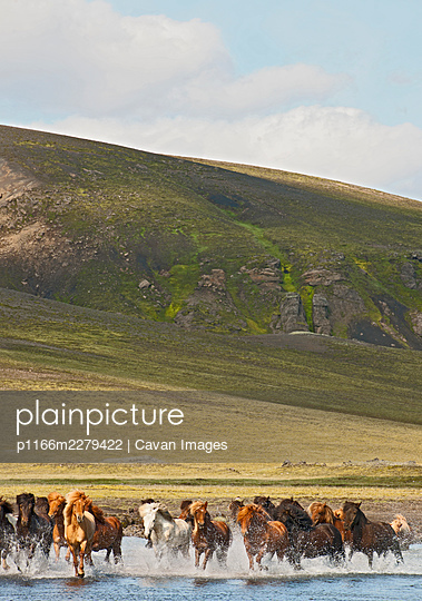 Icelandic horses crossing river on the Icelandic highlands - p1166m2279422 by Cavan Images