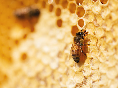 Beehives, Bees and Honey - p1335m2109606 by Daniel Cullen