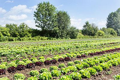 Oak leaf lettuce and Lollo Rosso ready for harvesting in organic farm - p429m1135544 by Ingolf Hatz