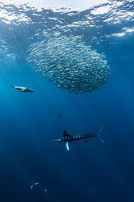 Striped marlin hunting mackerel and sardines, joined by sea lion - p429m2068777 by Rodrigo Friscione