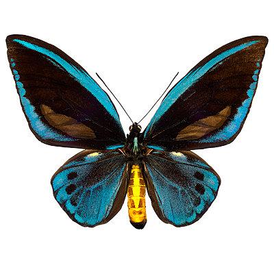 Ornithoptera - p587m1104307 von Spitta + Hellwig