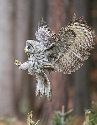 Great Gray Owl  flying, Zdarske Vrchy, Czech Republic - p884m1145413 by John Gooday/ NIS