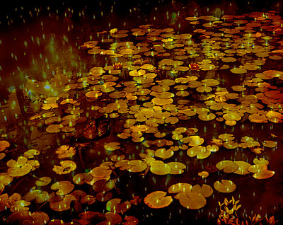 Duck among water lilies - p1028m2290883 von Jean Marmeisse
