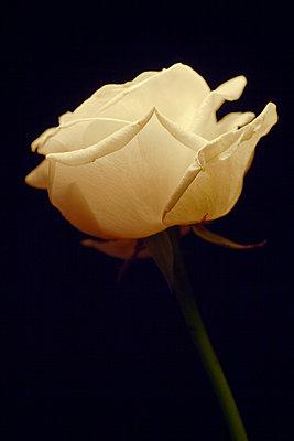 Weiße Rose - p3300362 von Harald Braun