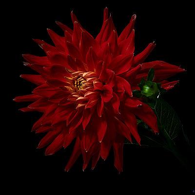 Dark red dahlia blossom - p587m2115470 by Spitta + Hellwig