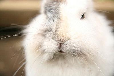 Lionhead rabbit - p165m853617 by Andrea Schoenrock