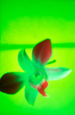 Orchid bloom - p2680792 by Uwe Gärtner
