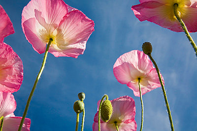 Shirley poppies - p4428264f by Design Pics