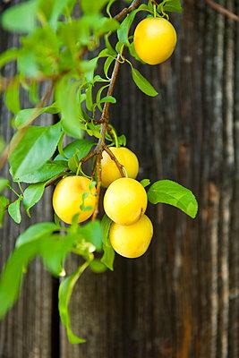 Zweig eines Mirabellenbaumes - p533m1068393 von Böhm Monika