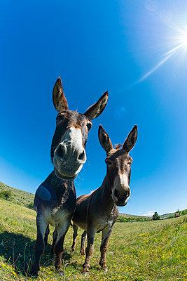 Donkeys - p829m938250 by Régis Domergue