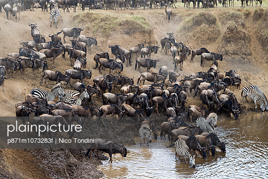 Herd of blue wildebeest (brindled gnu) (Connochaetes taurinus) and common zebras (Burchell\'s zebra) (Equus burchelli) drinking at Mara River