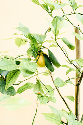 Lemon on tree - p312m1139730 by Malin Morner