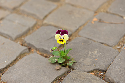 Pansy - p446m1119688 by Jan Knoff