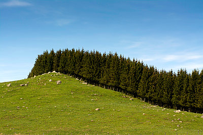 Firs row on a hill. Auvergne. France. - p813m1039468 by B.Jaubert