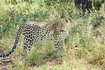 Gepard - p887m1124784 von Christian Kuhn