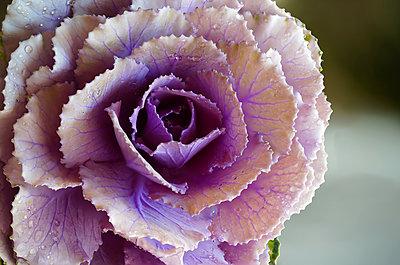 Cabbage Flower Close Up - p1166m2073611 by Cavan Images