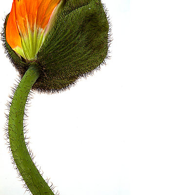 bud burst - poppy - p1470m1541300 by julie davenport