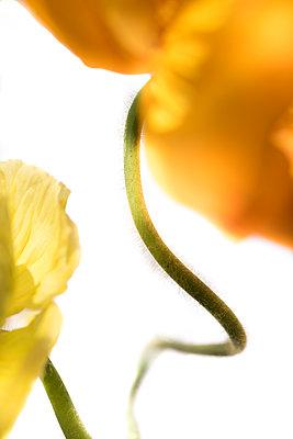 Gelbe Blume - p647m2100182 von Tine Butter