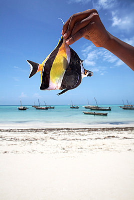 A tropical fish on Nungwi beach, Zanzibar, Tanzania, East Africa, Africa - p8712746 by Andrew McConnell