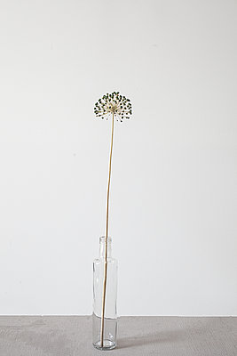 Allium seed head in bottle. - p1470m1539150 by julie davenport