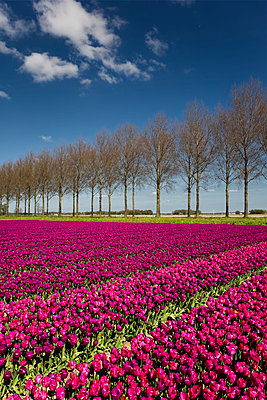 Tulip field - p1032m1139044 by Fuercho