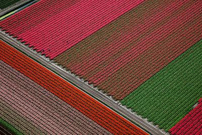 Tulip blooming season - p1120m899963 by Siebe Swart