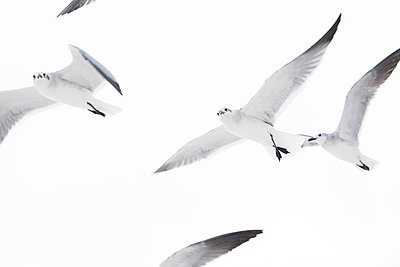 Low angle view of flock of seagulls flying - p924m1422743 by Raphye Alexius